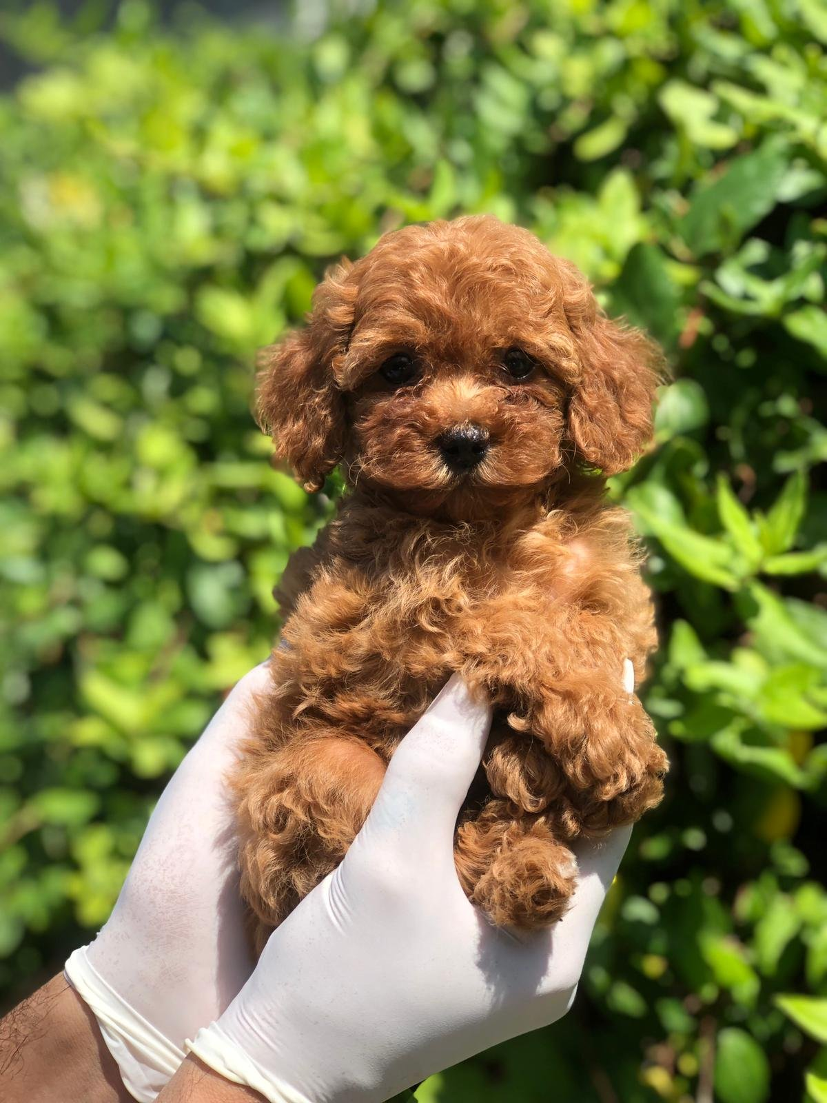 X Small Toy Poodle 3