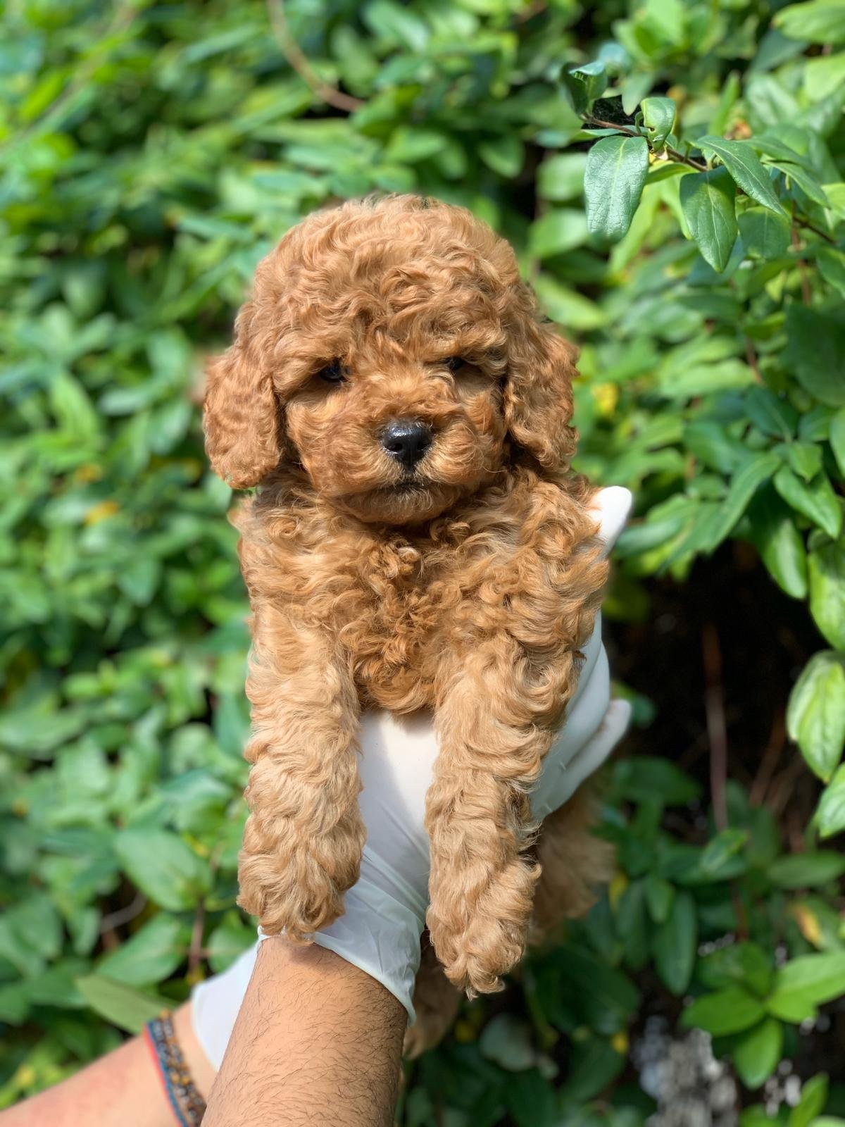 X Small Toy Poodle 1