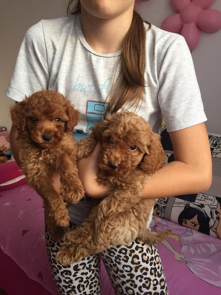 XS APRİCOT VE RED TOY POODLE RED VE DARK RED YAVRULAR 1
