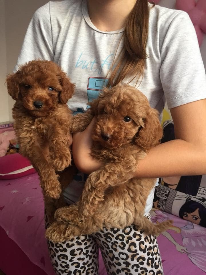 XS APRİCOT VE RED TOY POODLE RED VE DARK RED YAVRULAR 2