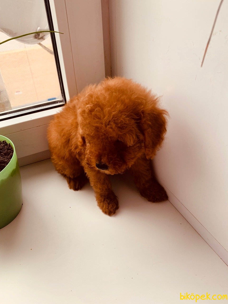 XS APRİCOT VE RED TOY POODLE RED VE DARK RED YAVRULAR 3