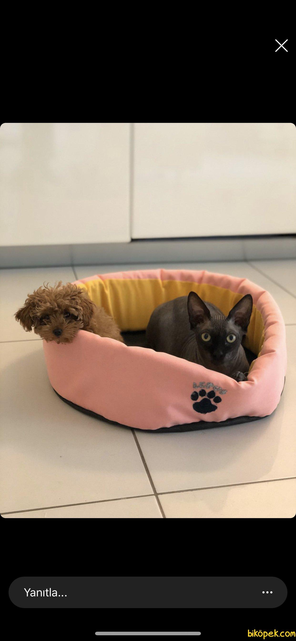 XsVe Toy Boyutlarında Poodle Bebeklerimiz 3