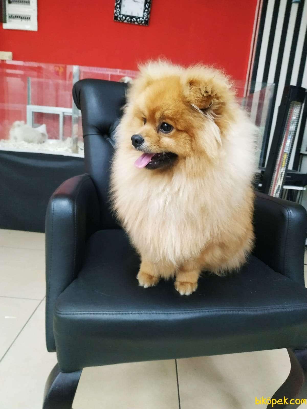 Yakışıklı Pomeranian Oğlumuz Alex 1