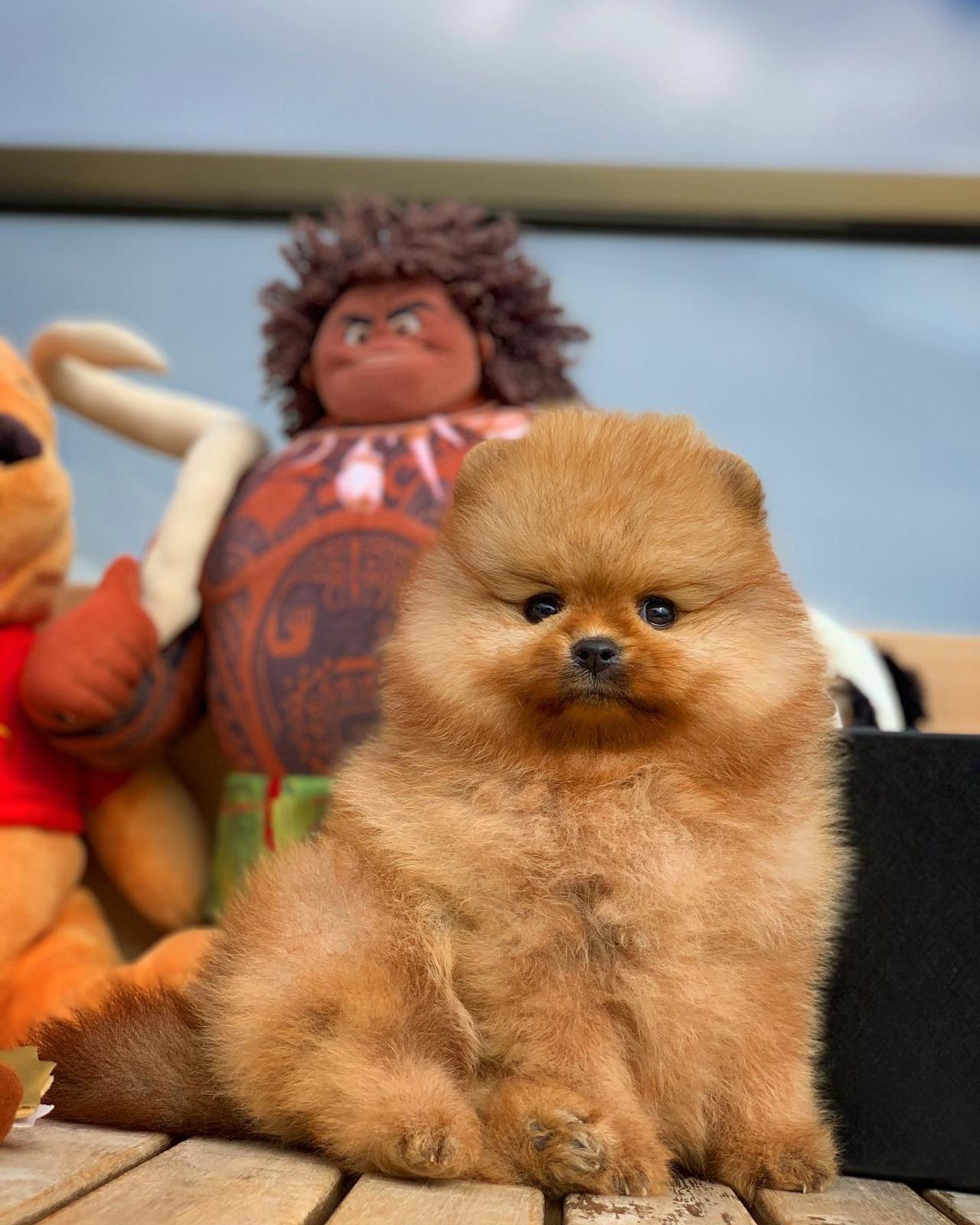 Yarışma Düzeyi Pomeranianboo Yavrularımız 1