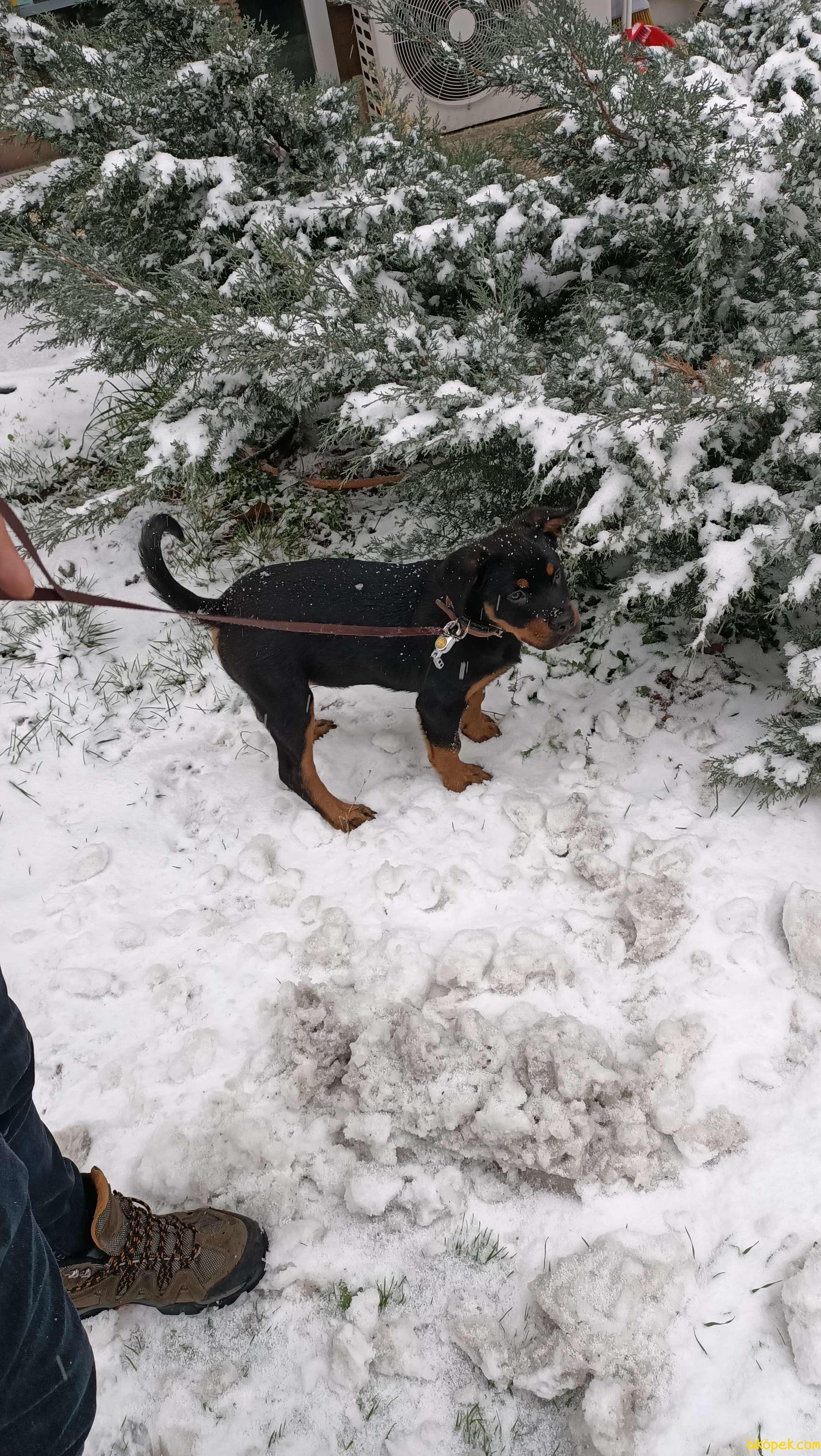 Yavru Rottweiler 2