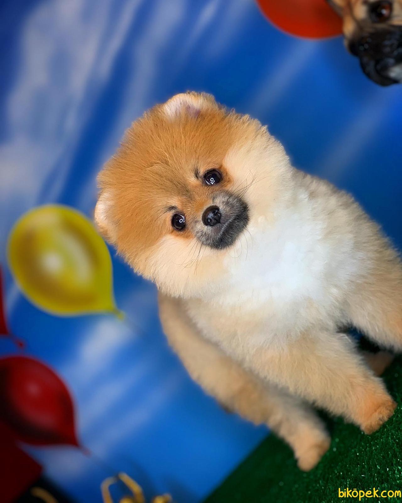 Yavrupatiler Den Saf Kan Irk Pomeranian Kızımız Milky / Yarışma 2