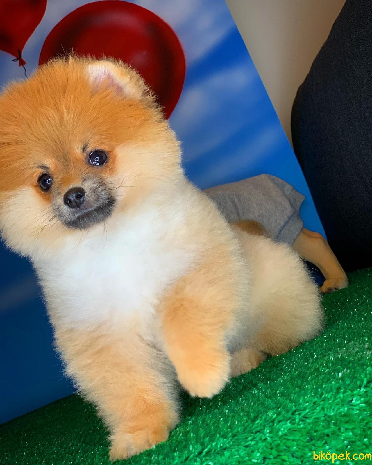 Yavrupatiler Den Saf Kan Irk Pomeranian Kızımız Milky / Yarışma 4
