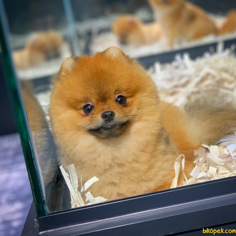 Yavrupatiler'den Scr Li Oğlumuz Bobo / Pomeranian Boo 1