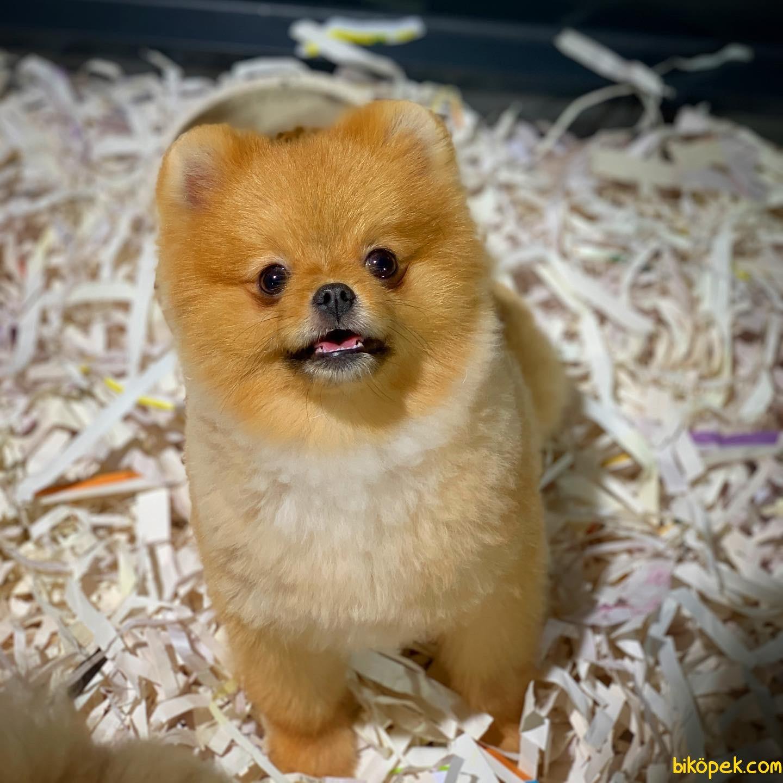 Yavrupatiler'den Scr Li Oğlumuz Bobo / Pomeranian Boo 4