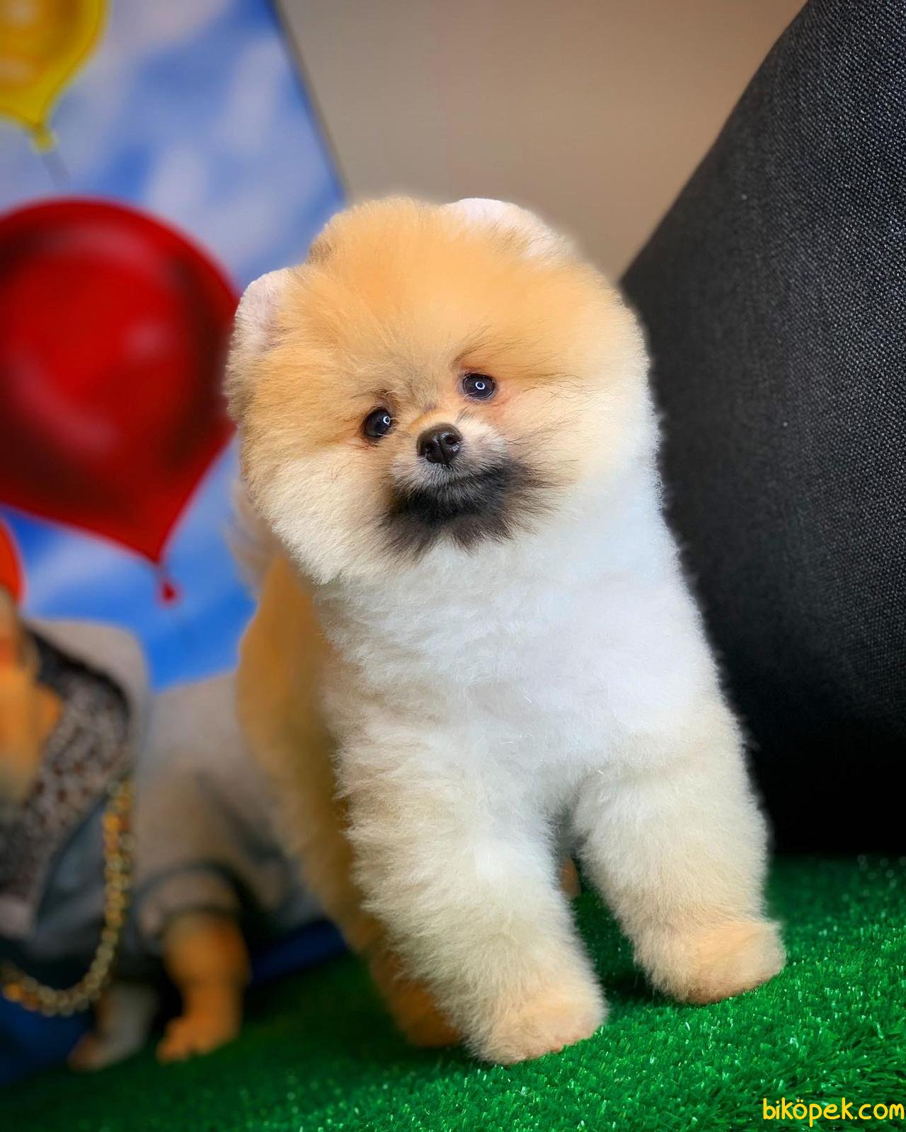 Scr Li Saf Kan Pomeranian Oğlumuz Ticky 4