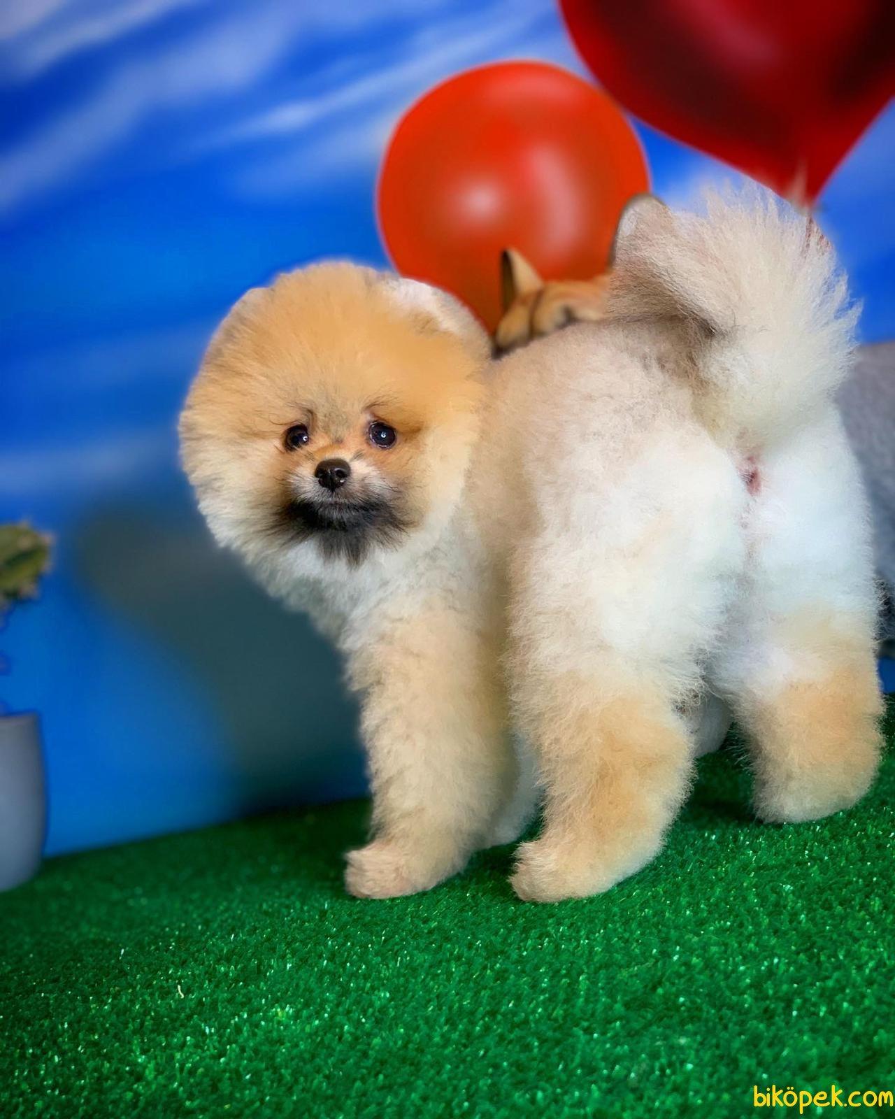 Scr Li Saf Kan Pomeranian Oğlumuz Ticky 1