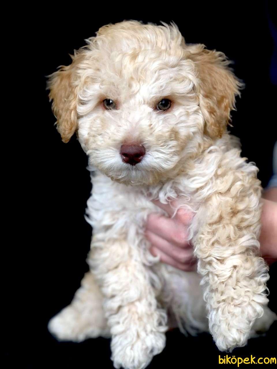 Yemyeşil Gözlü Poodle Yavrumuz Microchiplidir 1