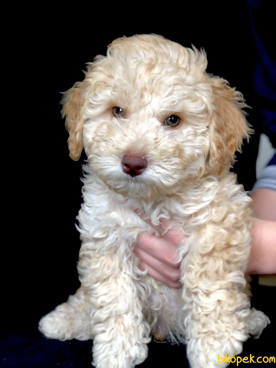 Yemyeşil Gözlü Poodle Yavrumuz Microchiplidir 4