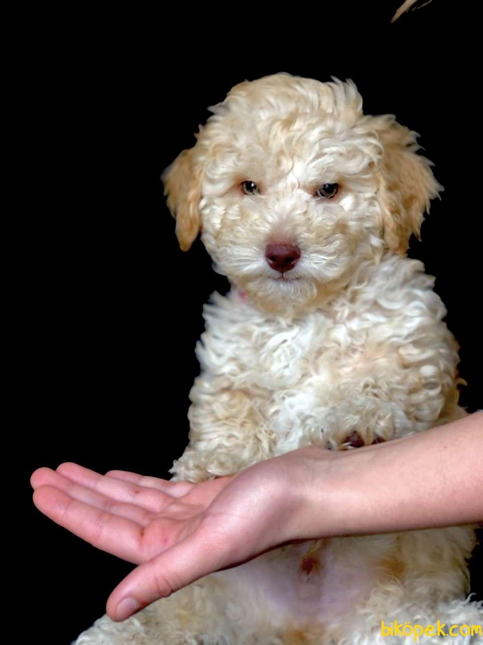 Yemyeşil Gözlü Poodle Yavrumuz Microchiplidir 2