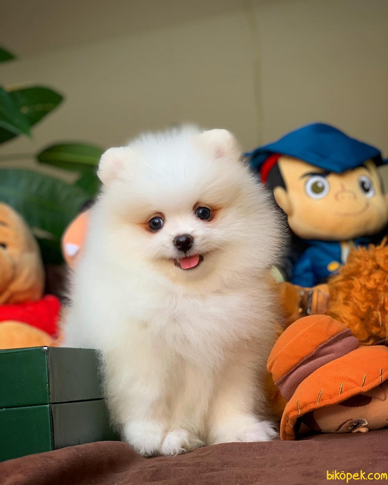 Yurtdışı Üretim Belgeli Safkan Pomeranian Boo Yavrularımız 3