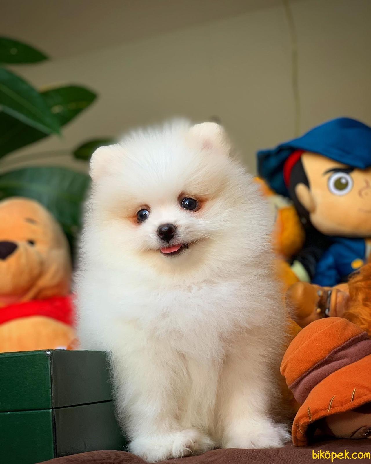 Yurtdışı Üretim Belgeli Safkan Pomeranian Boo Yavrularımız 1