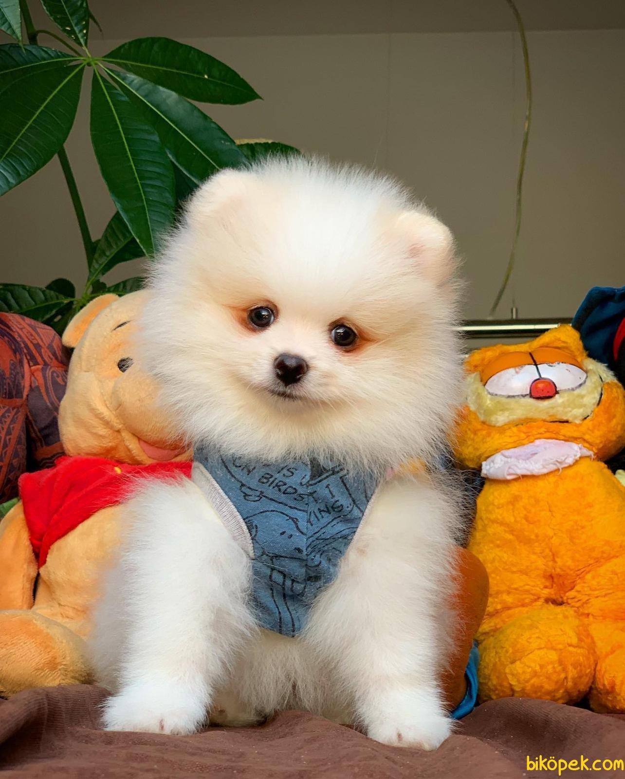 Yurtdışı Üretim Belgeli Safkan Pomeranian Boo Yavrularımız 2
