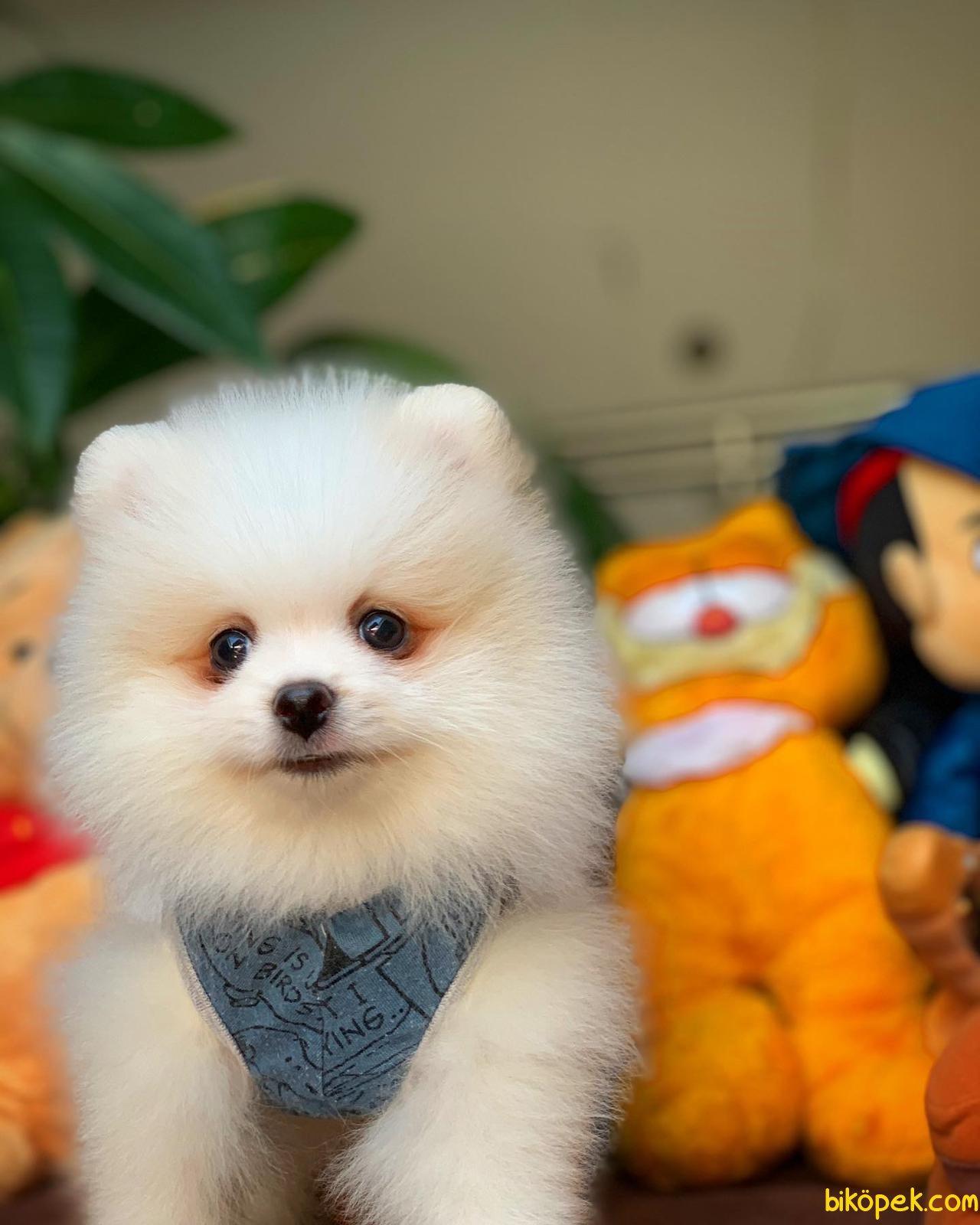 Yurtdışı Üretim Belgeli Safkan Pomeranian Boo Yavrularımız 4