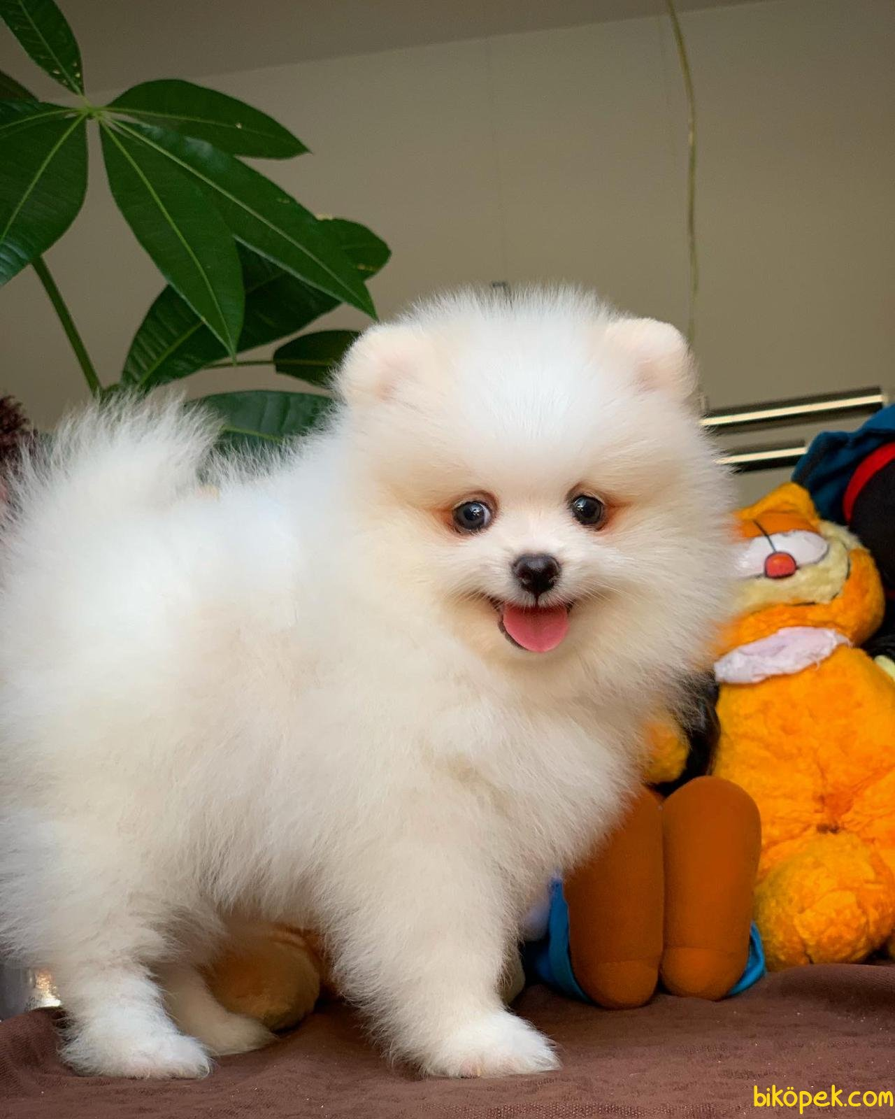 Yurtdışı Üretim Belgeli Safkan Pomeranian Boo Yavrularımız 5
