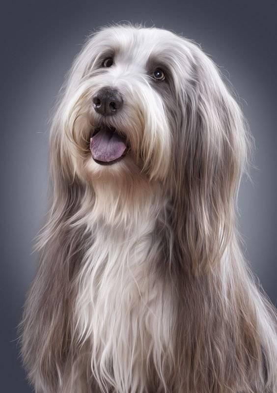 Uzun Tüylü Köpekler ve Bakımları