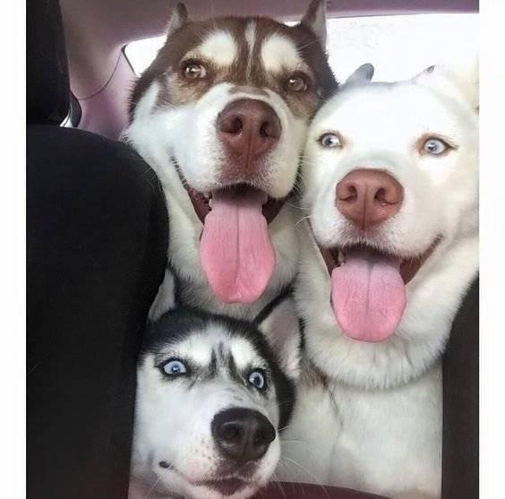 Daha Az Salya Akıtan Köpek Irkları